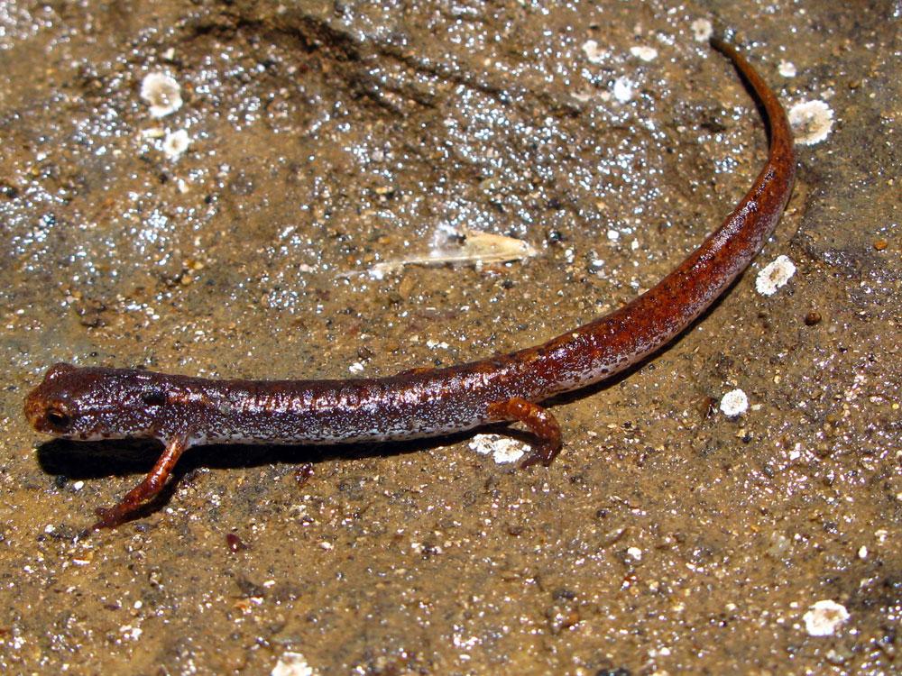 Four toed salamander